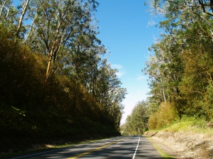 Driving through the Eucalyptus Forest on Highhway 19 Between Honoka'a and Waimea: Photo by Donald MacGowan