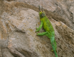 Like a Miniature Triceratops, This Jackson's Chameleon Unconcernedly Strolls the Streets of Honaka'a: Photo by Donnie MacGowan