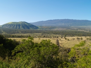 Hualalai Volcano and Pu'uananhulu from Hwy-190--Note Yellow Blossoms on Silver Oaks: Photo by Donnie MacGowan