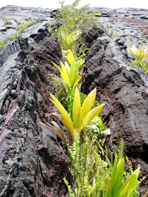 Young Coconut Palms Planted in a Lava Crack Near Kalapana, Puna Hawaii: Photo by Kelly Kuchman