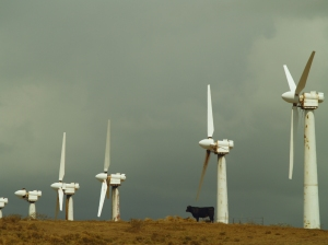 Cow and Windfarm: South Point--Ka Lae--Ka'u Hawaii: Photo by Donnie MacGowan