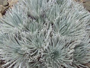 Vanishingly Rare Silver Sword Plant on Mauna Kea: Photo by Donnie MacGowan