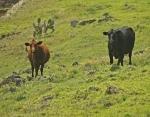 Cows Graze the Upper Slopes of Kohala Mountain: Photo by Donald B. MacGowan