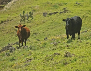 Cows Graze the Upper Slopes of Kohala Mountain: Photo by Donald B. MacGowan