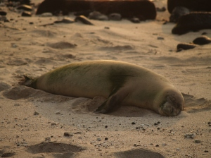 Monk Seal on Honl's Beach at Sunset: Photo by Donald B. MacGowan