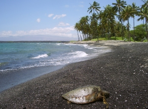 A Hawaiian Green Sea Turtle Suns Herself on the Long, Sinuous Kiholo Beach Which Alternates equal Portions of Bedrock, Pebble and Black Sand: Photo by Donald B. MacGowan
