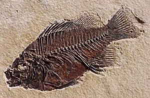 Wyoming Fossil Fish (source: http://www.treasure-hunting-team.com/Pictures/Fossil-Fish-1.jpg)