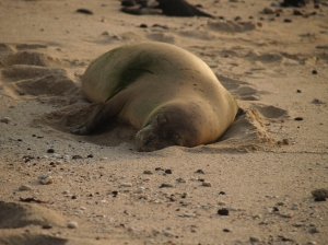 Monk seal at Honl's Beach near Kailua Kona: PHoto by Donald B. MacGowan
