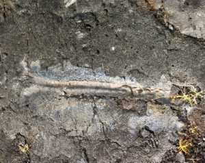 Tree Branch Fossil Preserved in Extremely Recent Lava Flow, Kaimu, Hawaii: Photo by Donald B. MacGowan