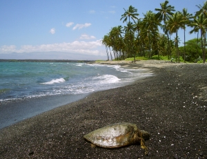 A Hawaiian Green Sea Turtle Dozes Gently on the Beach at Kiholo on the Kohala Coast: Photo by Donald B. MacGowan