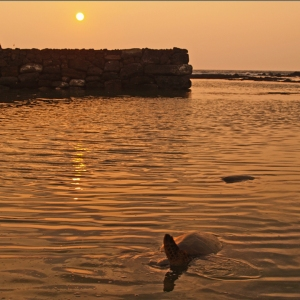 Honu at Sunset, Haapaiali'i Heiau: Photo by Donald B. MacGowan