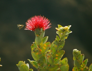 Lehua Blossom and Bee in an Upland Ohia Forest: Photo by Donald B. MacGowan