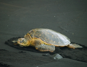 A Hawaiian Green Sea Turtle Suns Herself on Punalu'u's Justly Famous Black Sand Beach: Photo by Donald B. MacGowan