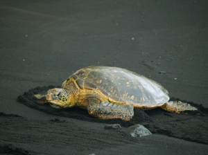Enangered Hawaiian Green Sea Turtle on Punalu'u's Famous Black Sand Beach: Photo by Donnie MacGowan