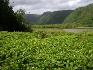 Although It's Tempting to Explore, the Lush Meadows of the Interior of Pololu Valley Are Annoyingly Boggy AND Privately Owned: Photo by Donald B. MacGowan