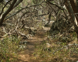 Keawe Thickets along the Honomalino Beach Trail Mean You Should Wear Sturdy Shoes to Avoid the Ginormous Thorns: Photo by Donald B. MacGowan