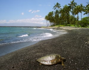 A Hawaiian Green Sea Turtle, or Honu, Suns Herself at Kiholo Bay on the Kohala Coast of Hawaii: Photo by Donald B. MacGowan