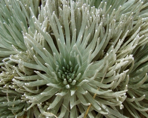 Mauna Kea's Vanishingly Rare Silver Sword Plants: Photo by Donald B. MacGowan