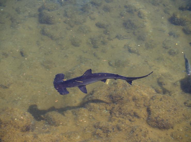Hammerhead shark baby - photo#4
